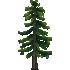 エゾマツの木