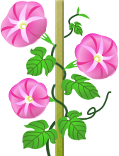 アサガオ ピンク