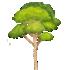 ティーツリーの木